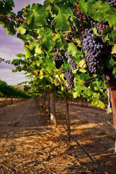 Grape varieties: Syrah or Shiraz