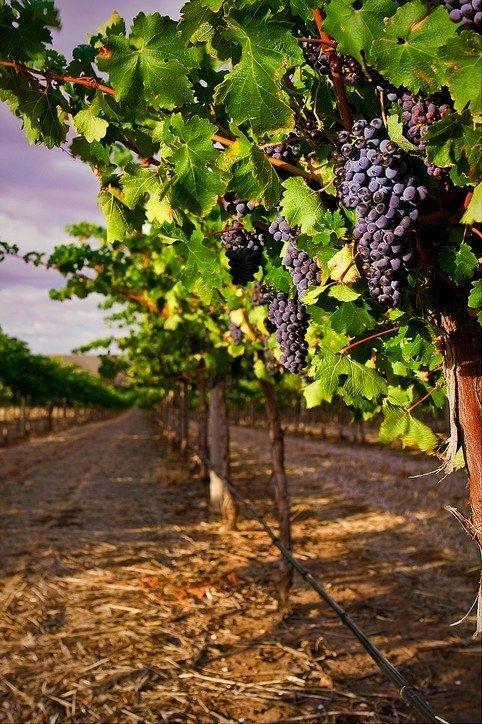 Grape varieties: Syrah or Shiraz