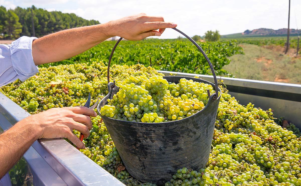 Grape varieties: Chardonnay